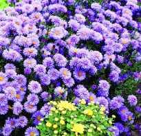 Октябринки цветы фото