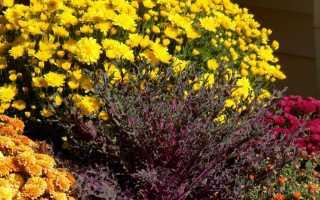 Как подготовить хризантемы к зиме
