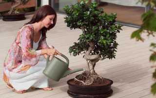 Денежное дерево полезные свойства и противопоказания