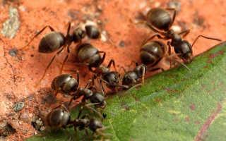 Садовые муравьи угроза и польза