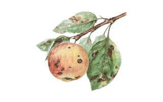 Что такое парша на яблоне
