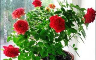 Болезни домашних роз