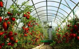Супер ранние помидоры сорта для теплиц