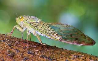 Цикада это насекомое