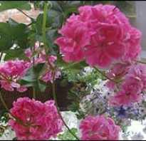 Содержание мелкоцветковых плющелистных пеларгоний