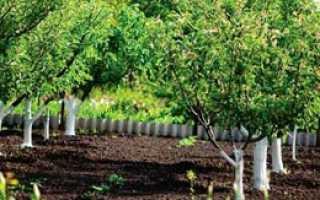Семечковые и косточковые садовые растения для выращивания на участке