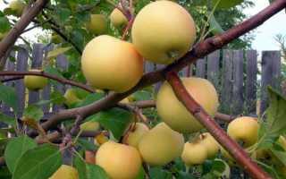 Уральское наливное яблоня описание