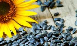 Полезные свойства семян подсолнуха