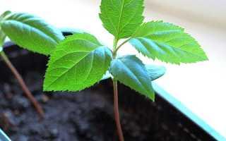Выращивание яблони из семечка в домашних условиях