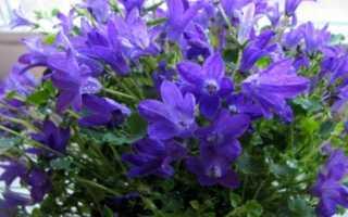 Эдрайантус горный колокольчик альпийского сада