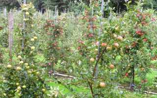 Яблоня мельба описание сорта фото