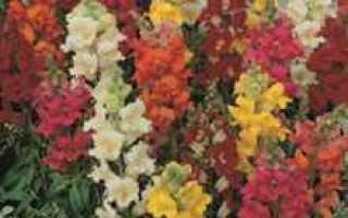 Цветы однолетки фото и названия по алфавиту