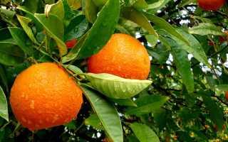 Мандарин дерево фото