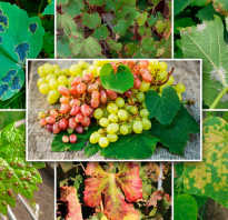 Болезни винограда фото
