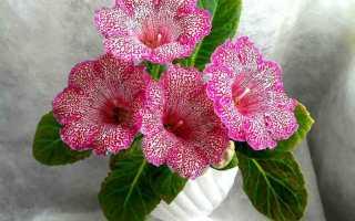 Как ухаживать за глоксинией после цветения