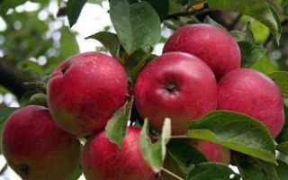 Выращивание яблонь в сибири