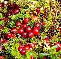 Клюква ягода полезные свойства