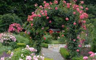 Полив роз летом