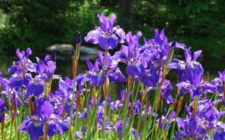 Сорта растений сибирские ирисы