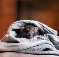 Ловушка на крыс