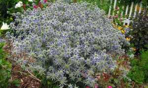 Эрингиум фото цветов
