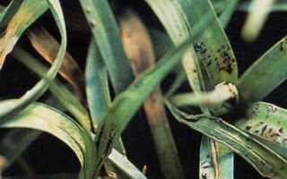 Споры грибка на листве многолетней гвоздики