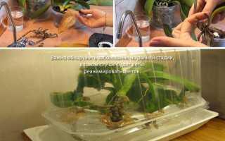 Что делать если у орхидеи сохнут корни
