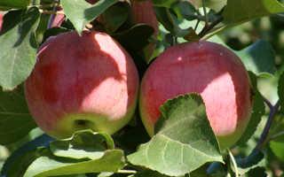 Яблоня орловское полосатое описание сорта фото отзывы