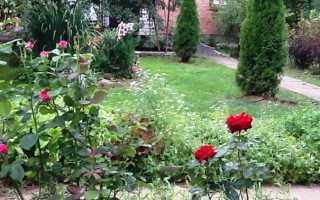 Туя как сажать и ухаживать в саду