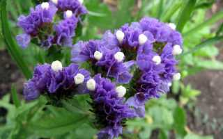 Лимониум фото цветов