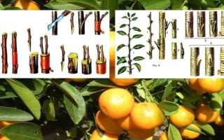 Прививка мандарина в домашних условиях