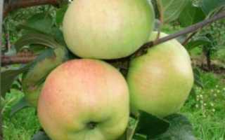 Сорт яблони богатырь фото и описание сорта