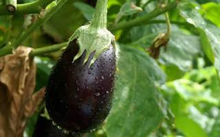 Правильное выращивание и уход за баклажанами в теплице