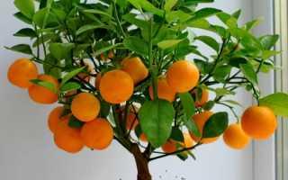 Апельсиновое дерево дома