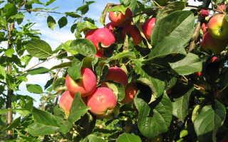 Расти на яблоне