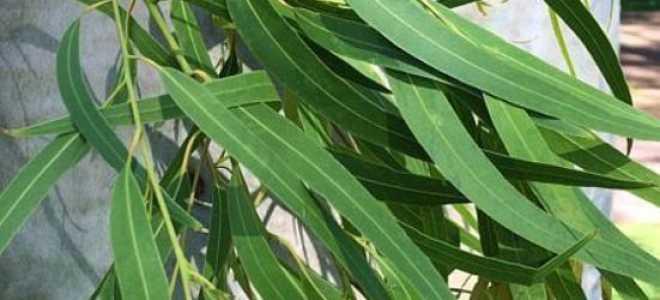 Эвкалипт домашнее растение