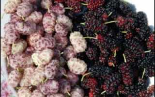 Цветение и плодоношение шелковицы белой