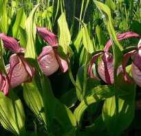 Правила посадки и ухода за садовой орхидеей