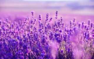 Лаванда трава полезные свойства