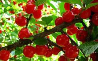 Войлочная вишня сорта для сибири
