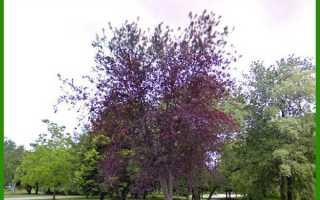 Черемуха сибирская красавица