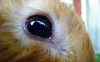 Болезнь глаз у кроликов