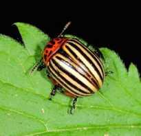 Колорадский жук вред