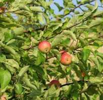 Яблоня срок жизни дерева