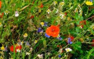 Цветущий в июле мавританский газон