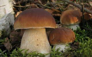Белый гриб полезные свойства