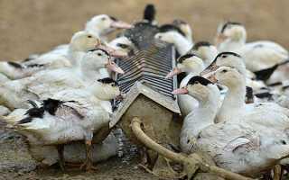 Что едят утки домашние