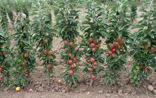 Преимущества колоновидных яблоневых садов