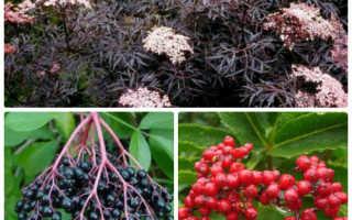 Садовые формы и сорта бузины чёрной