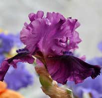 Радужные цветы ирисы обзор популярных сортов